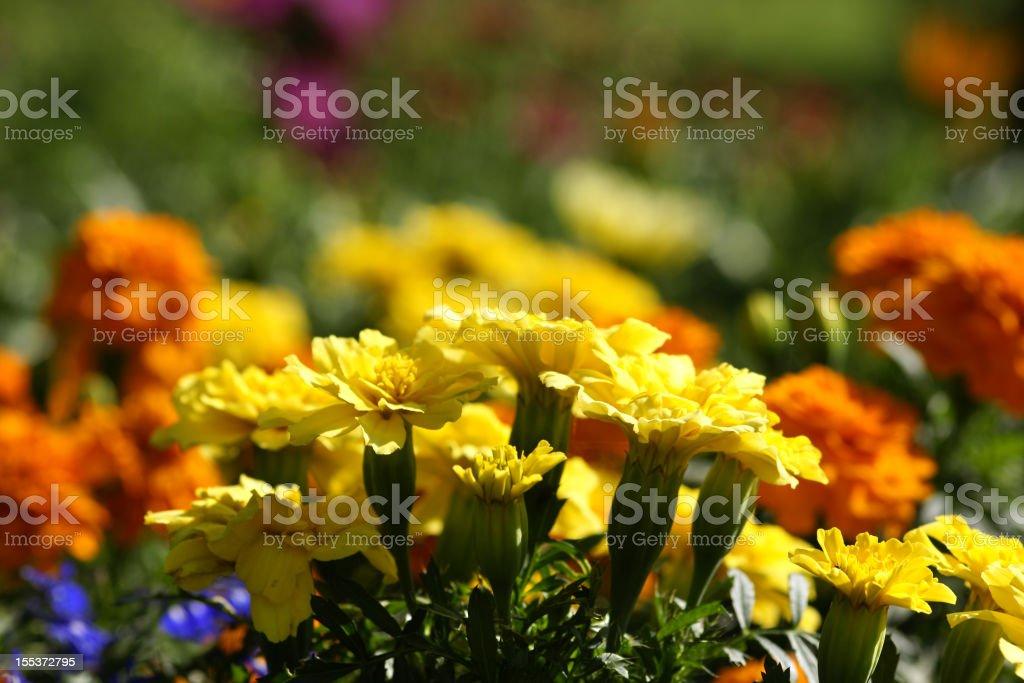Yellow marigold flowers royalty-free stock photo