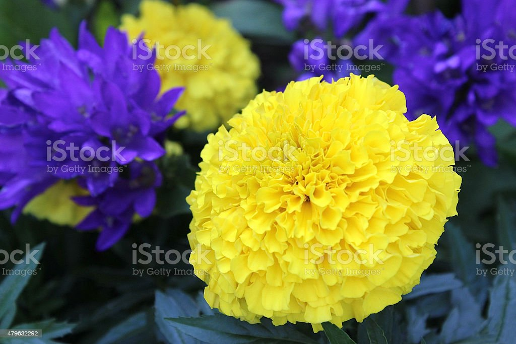 Yellow Marigold With Purple Flowers In Flower Garden Stock Photo Download Image Now Istock