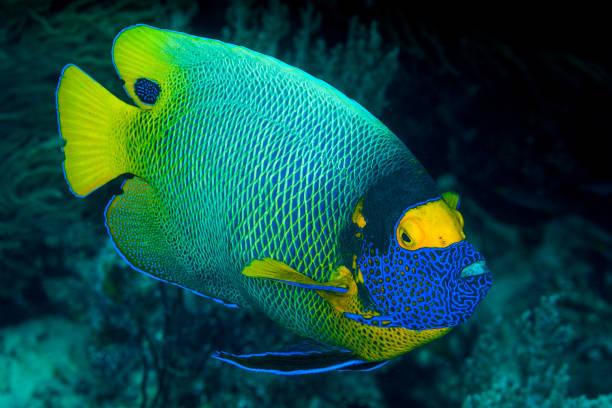 yellow mask angelfish fish stock photo