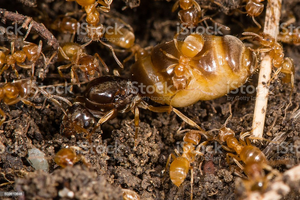 Yellow Meadow Ants Tending Queen Stock Photo & More Pictures of ...