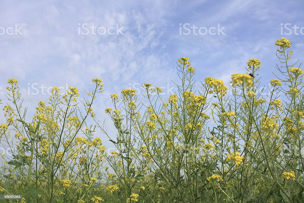 Yellow meadow flowers royalty-free stock photo