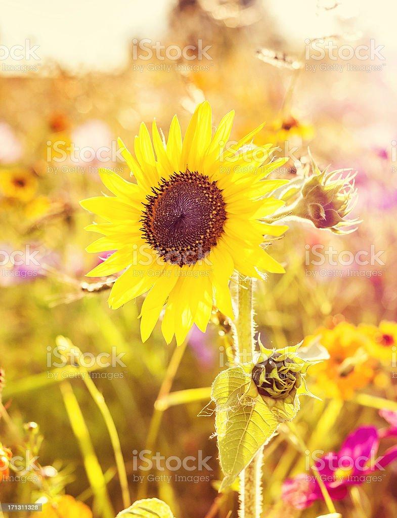 Gelbe Wiese mit Sonnenblume Lizenzfreies stock-foto