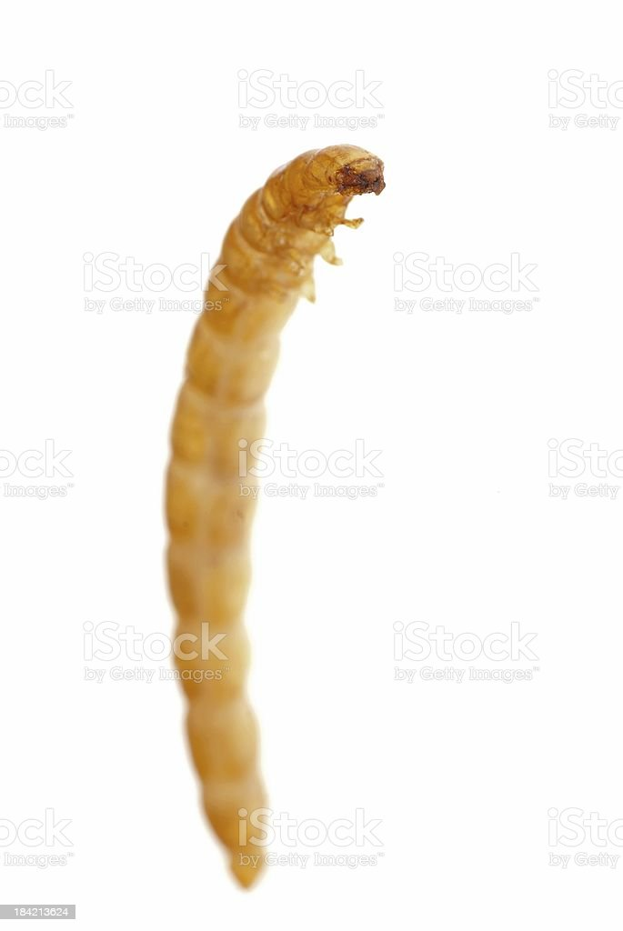 yellow meal worm stock photo