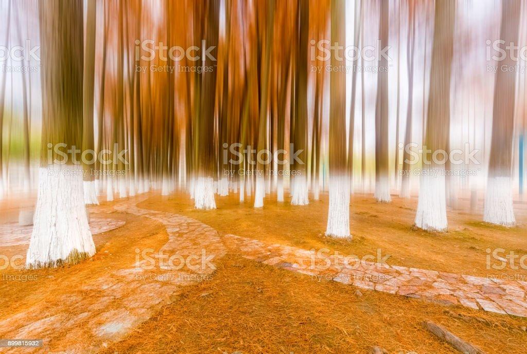 yellow metasequoia woods stock photo