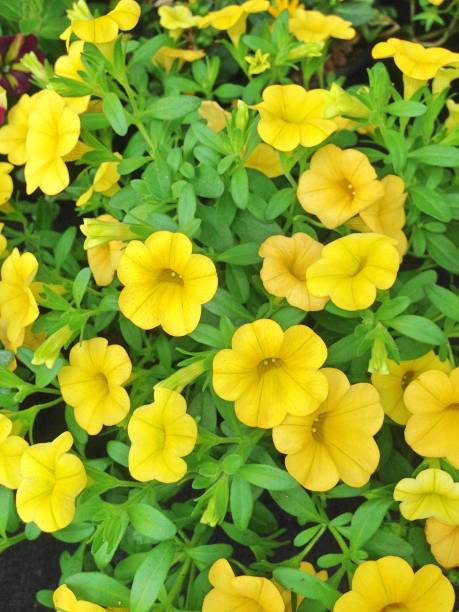 Yellow Million Bell Petunia flowers