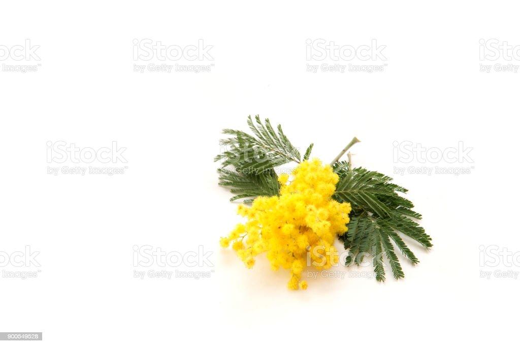 Amarillo mimosa aislado sobre fondo blanco. - foto de stock