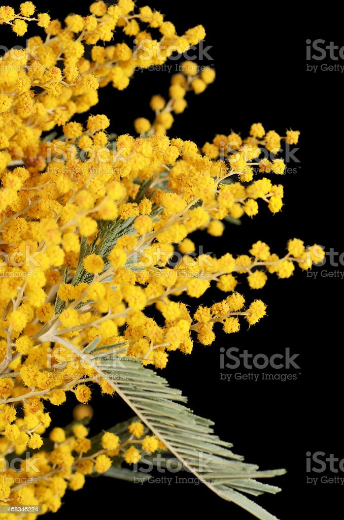 Yellow mimosa  on black background royalty-free stock photo