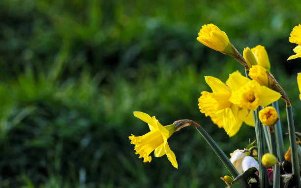 Yellow miniature Welsh daffodils in early spring stock photo