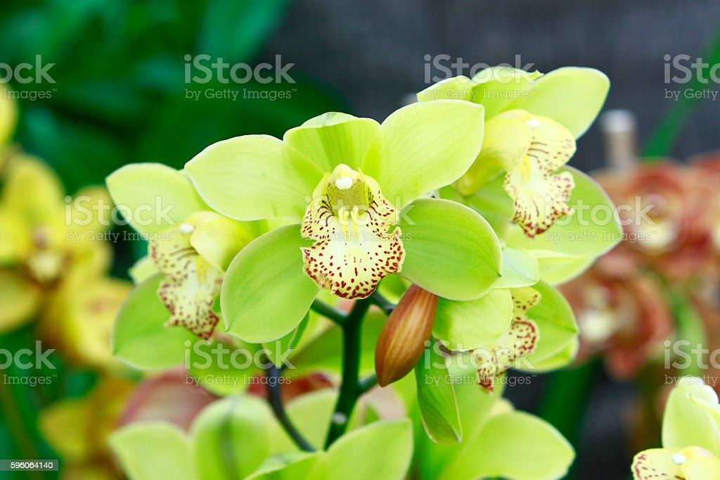 Yellow mint orchids royalty-free stock photo
