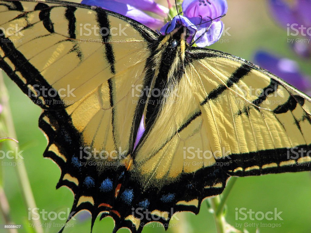 Yellow Monarch Butterfly Close Up With Spread Wings royalty free stockfoto