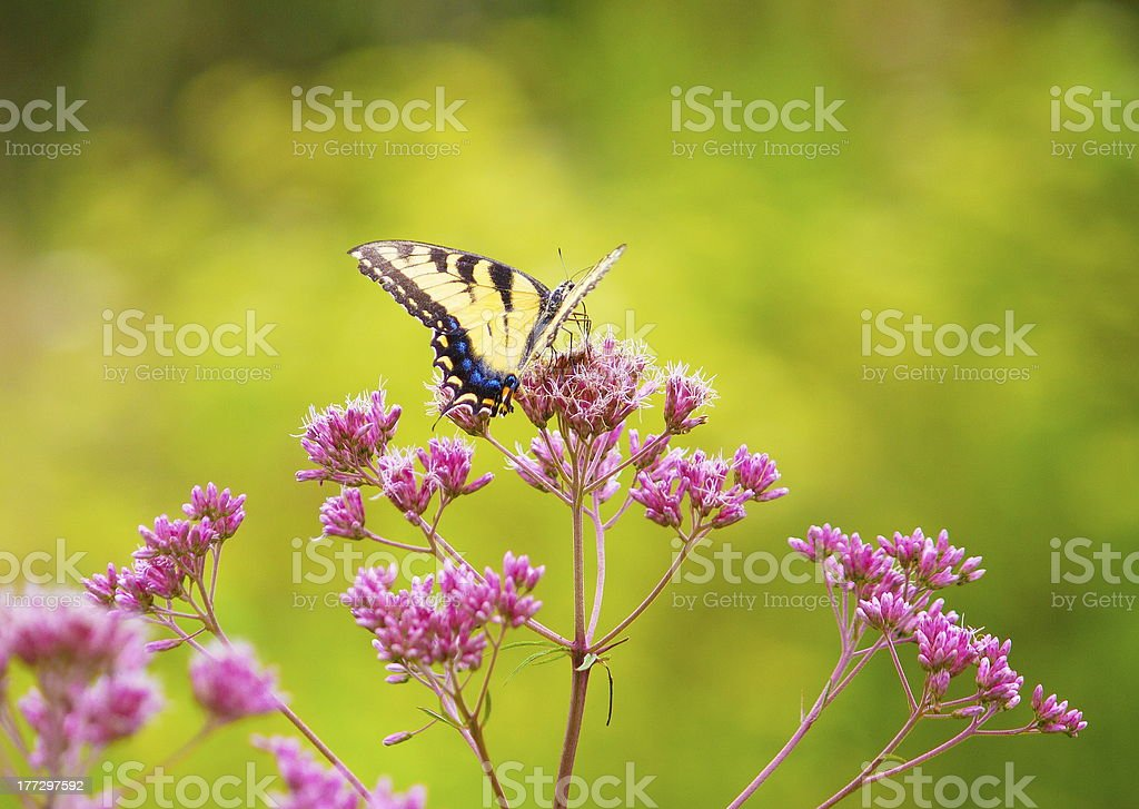 Yellow monarch butterfly. royalty-free stock photo