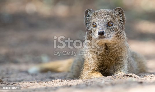 Yellow Mongoose lie down to rest on the Kalahari desert sand in the shade