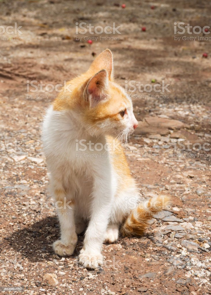 Yellow mongrel cat sitting on ground. Looking foward action. stock photo