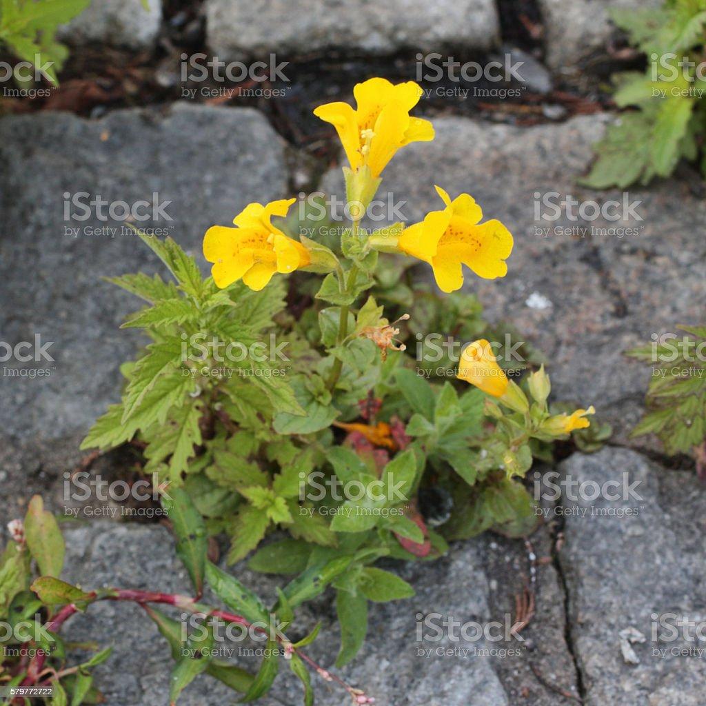 Yellow Monkey Flower Mimulus Guttatus Close Up Stock Photo More