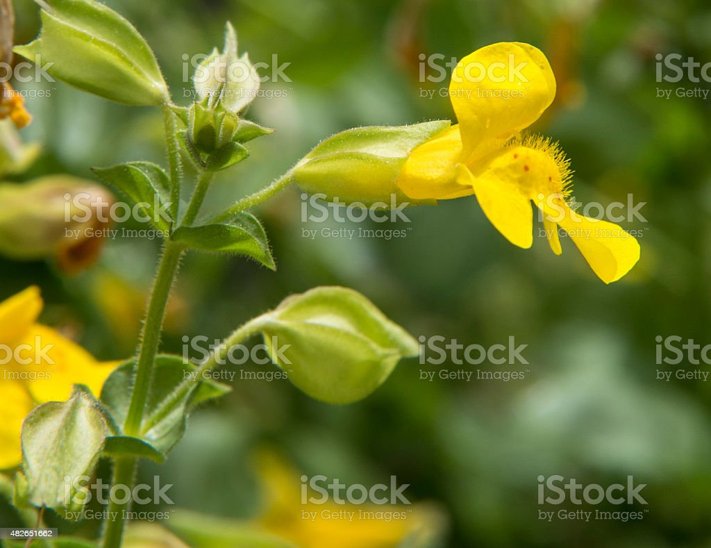 Yellow Monkey Flower Stock Photo More Pictures Of 2015 Istock