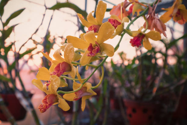 Yellow Moth Orchid flowers at sunset stock photo