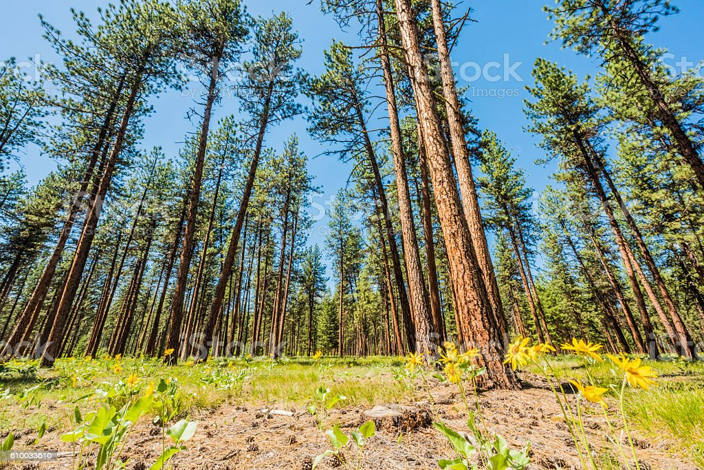 Yellow Mountain Daisy Arnica flowers with red pine forest stock photo