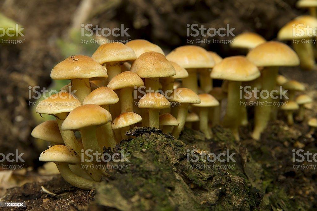 yellow mushrooms royalty-free stock photo