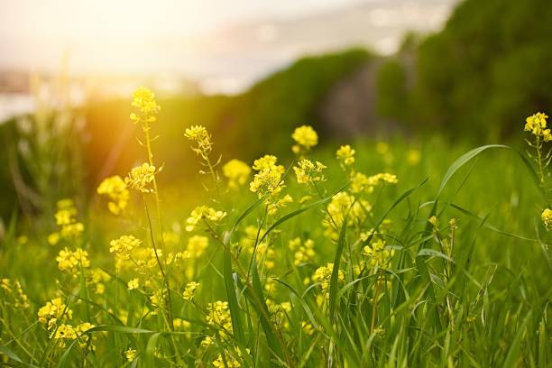 Yellow mustard field. Stock photo. stock photo