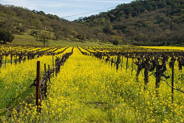 amerikanischer senf felder und liegengebliebenen weinberge napa valley yountville, kalifornien - robert weinberg stock-fotos und bilder