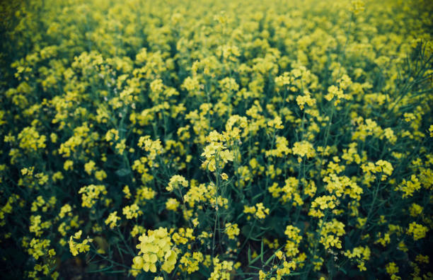 Yellow mustard flowers around an agricultural field stock photo