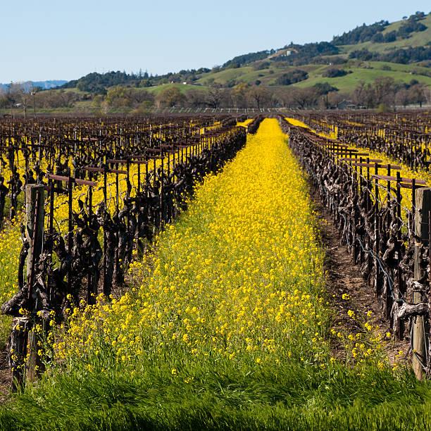 amerikanischer senf in ruhender weinberge napa valley, kalifornien - robert weinberg stock-fotos und bilder