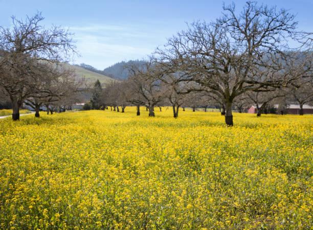 Yellow mustard in Walnut orchard stock photo