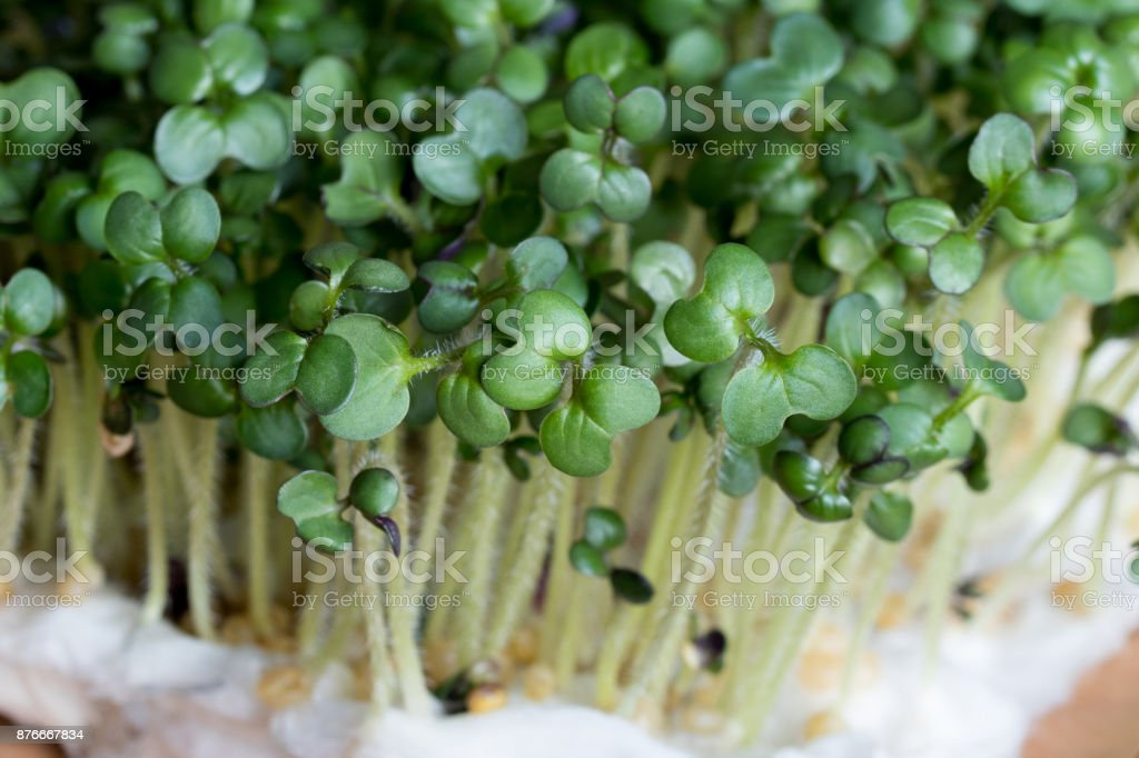 Yellow mustard sprouts stock photo