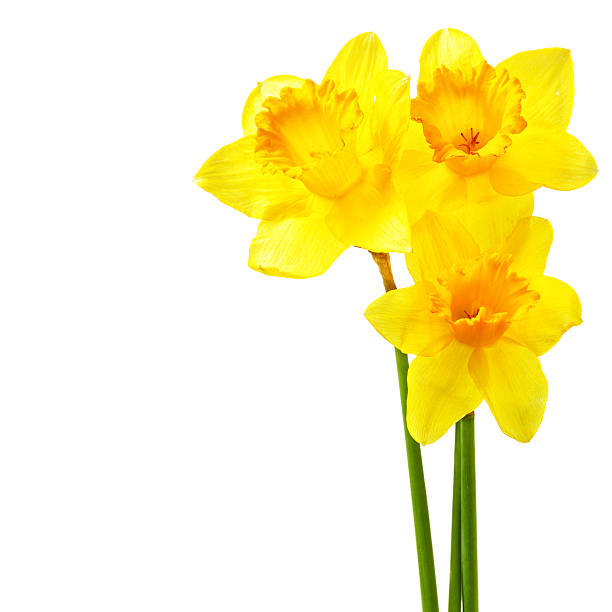 Yellow narcissi stock photo