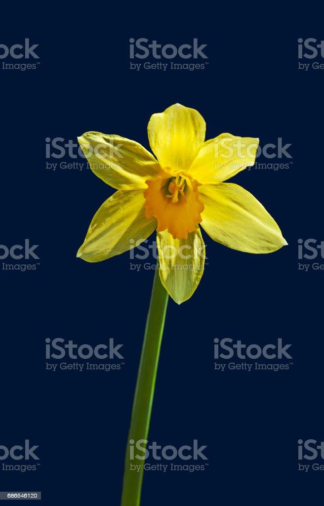 Yellow Narcissus flower ロイヤリティフリーストックフォト