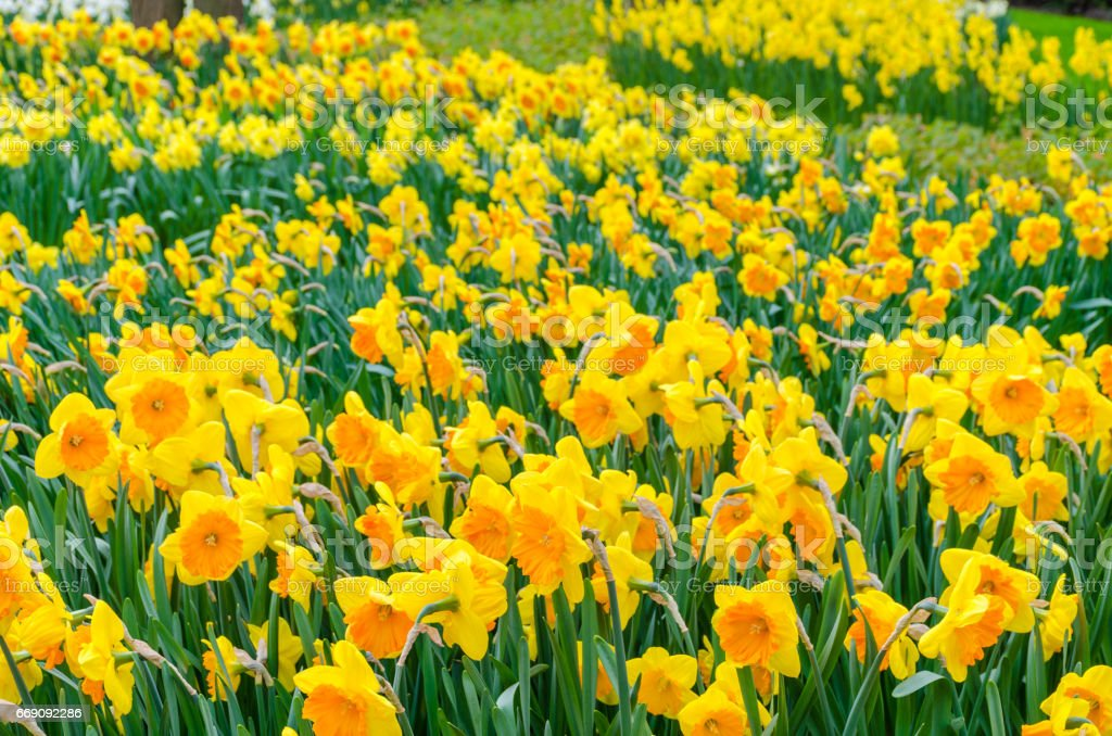 Yellow narcissus flowers. Beautiful spring flowers in Netherlands stock photo