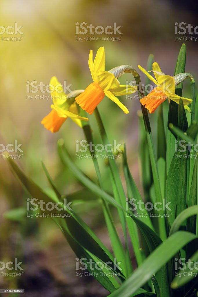 Yellow Narcissus flowers in the garden with sun rays stock photo