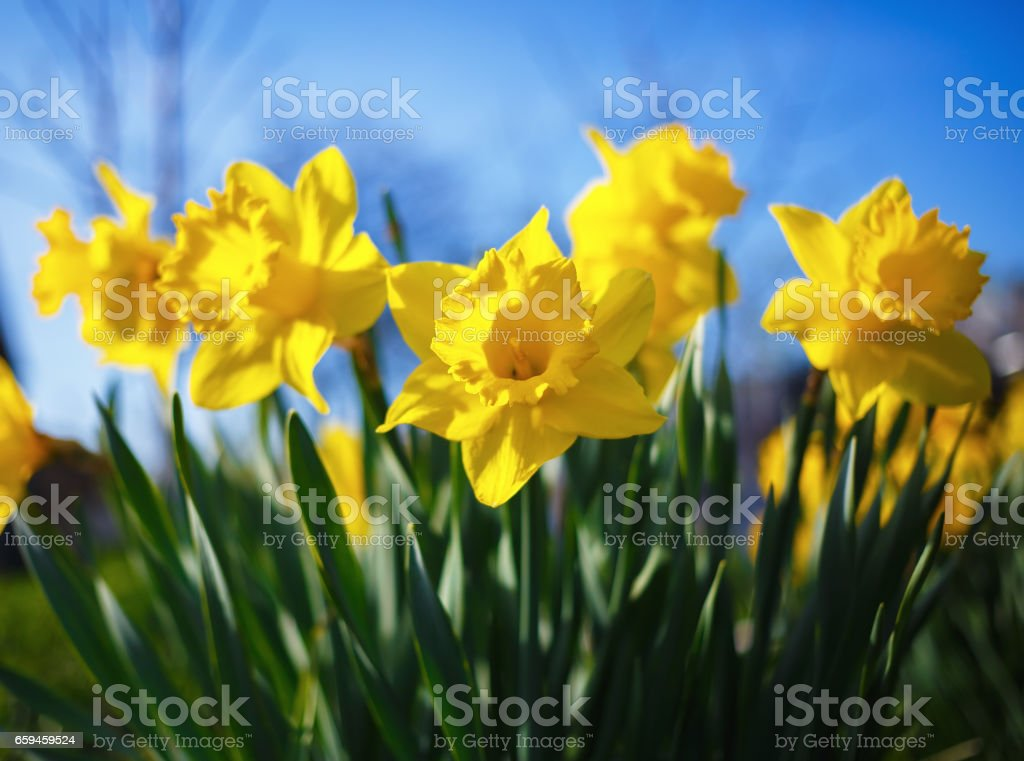 Yellow narcissus flowers stock photo