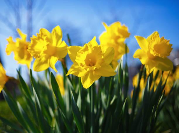 yellow narcissus flowers - pręcik część kwiatu zdjęcia i obrazy z banku zdjęć