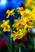 Yellow narcissus (Narcissus poeticus) in garden