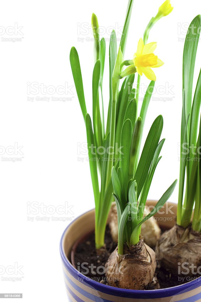 yellow narcissus in pot isolated royalty-free stock photo