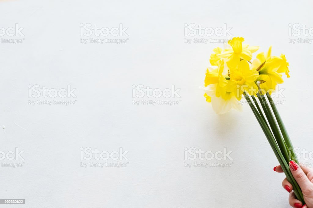 yellow narcissus white background spring flower royalty-free stock photo