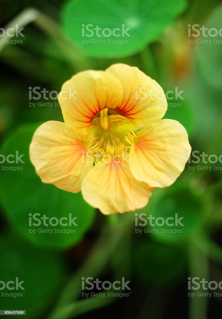 A yellow nasturtium flower stock photo
