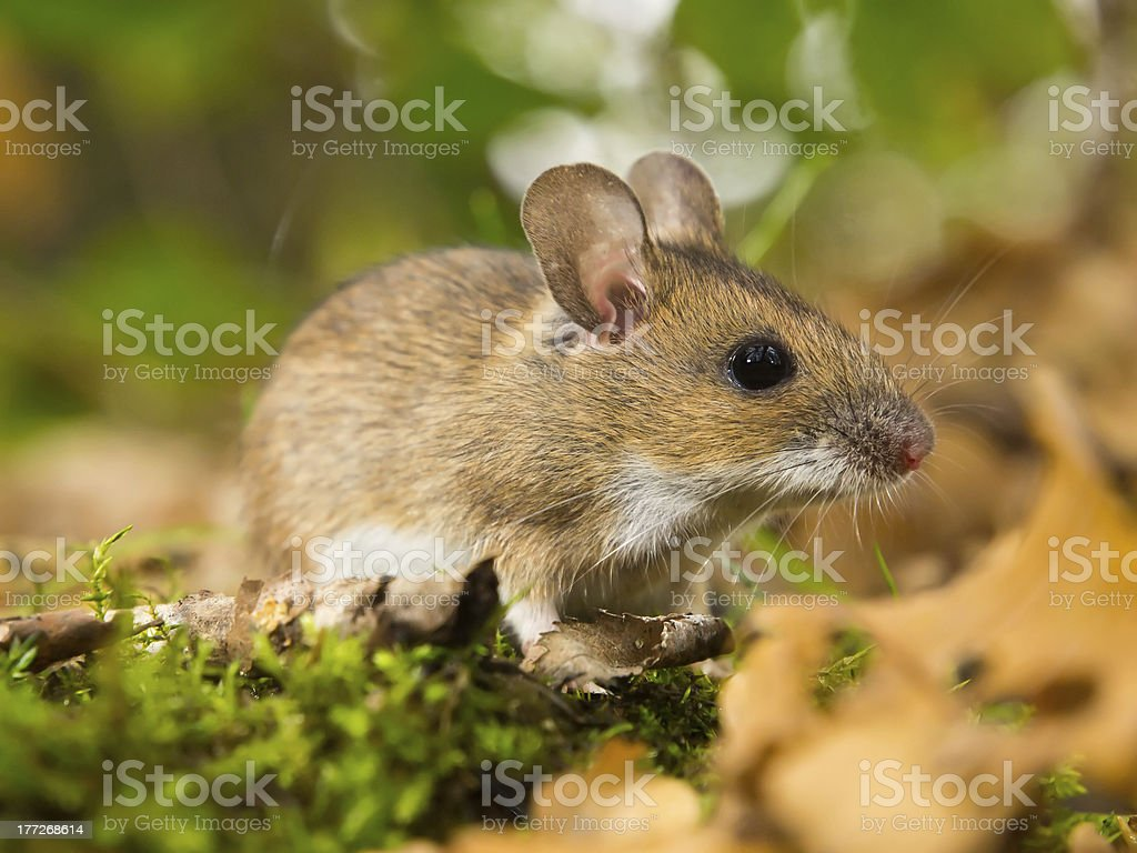 yellow necked mouse in habitat royalty-free stock photo