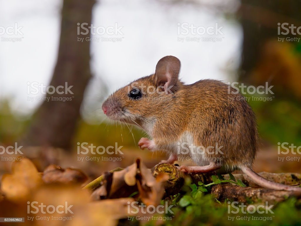 yellow necked mouse side stock photo