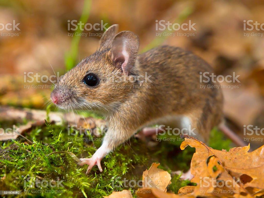 yellow necked mouse walking stock photo