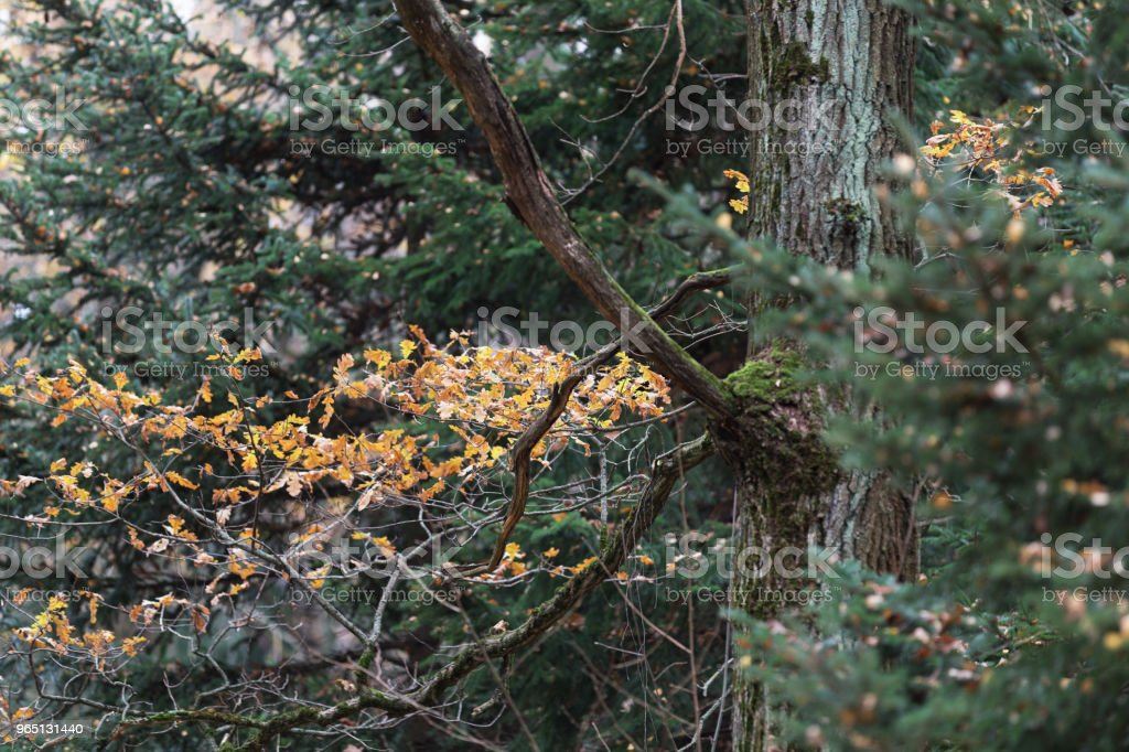 Yellow oak leaves and clumsy branches in the autumn forest. Green spruce in the background royalty-free stock photo