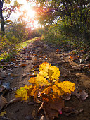 Yellow dry oak leaves on a forest road in autumn. Sunny morning.