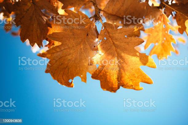 Photo of Yellow oak leaves on blue sky background