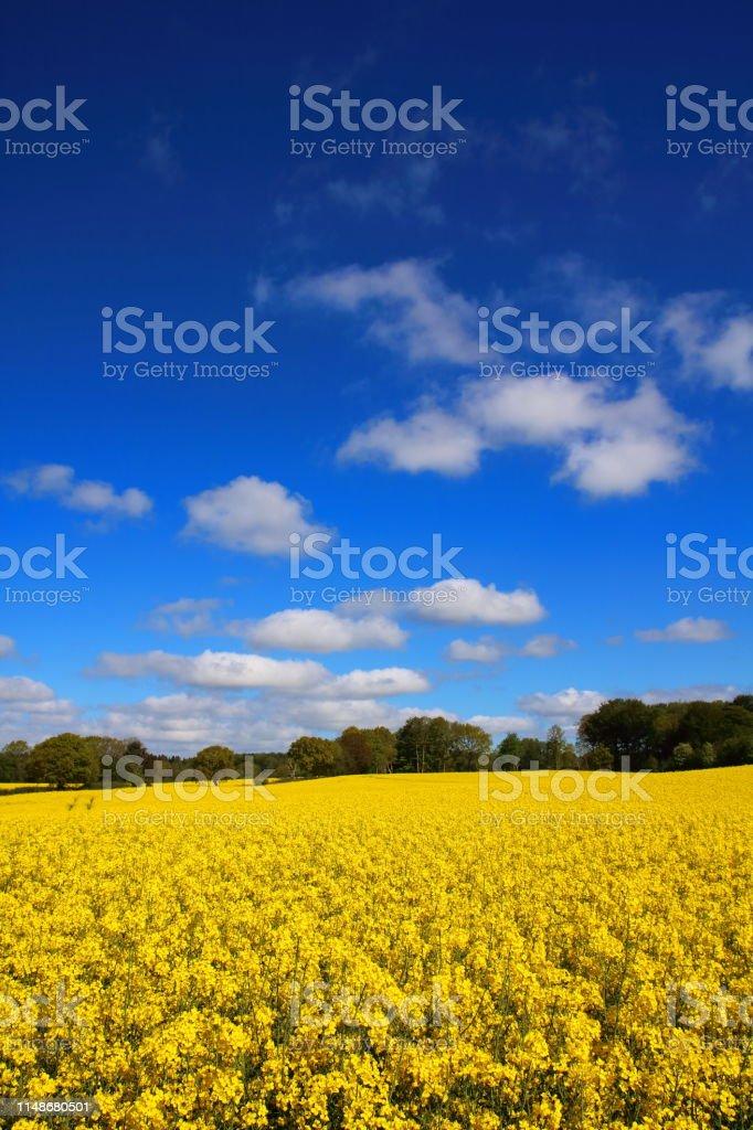Yellow Oil seed rape on a field in Denmark (Raps in Danish) stock photo