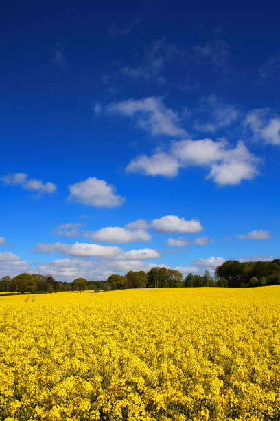 Yellow Oil seed rape on a field in Denmark (Raps in Danish) Yellow Oil seed rape on a field in Denmark (Raps in Danish) pejft stock pictures, royalty-free photos & images