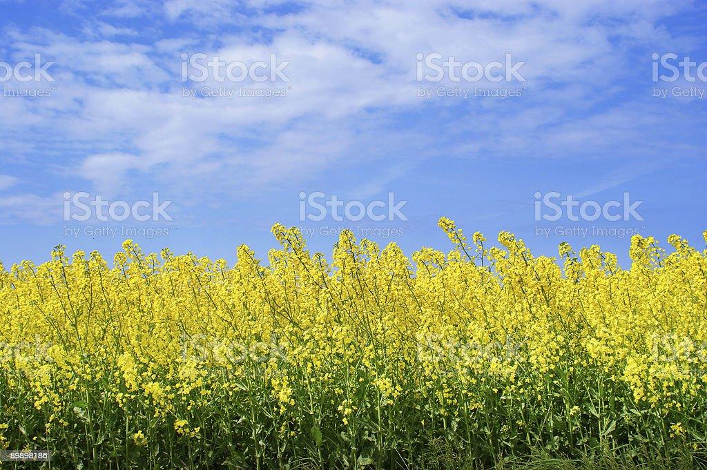 Amarelo colza e o céu azul foto de stock royalty-free
