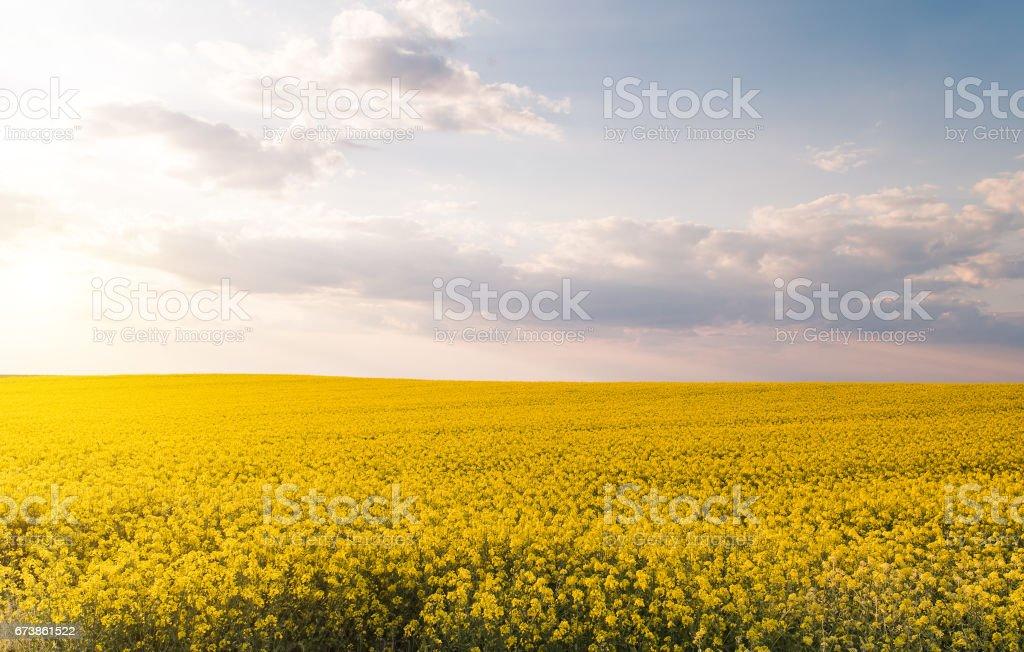 Champ colza oléagineux jaune sous le ciel bleu lumineux avec soleil photo libre de droits