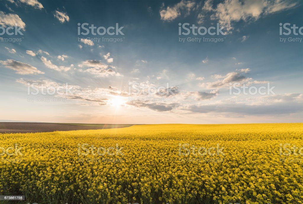 Sarı yağlı tohum tecavüz alan güneş mavi parlak gökyüzü altında royalty-free stock photo