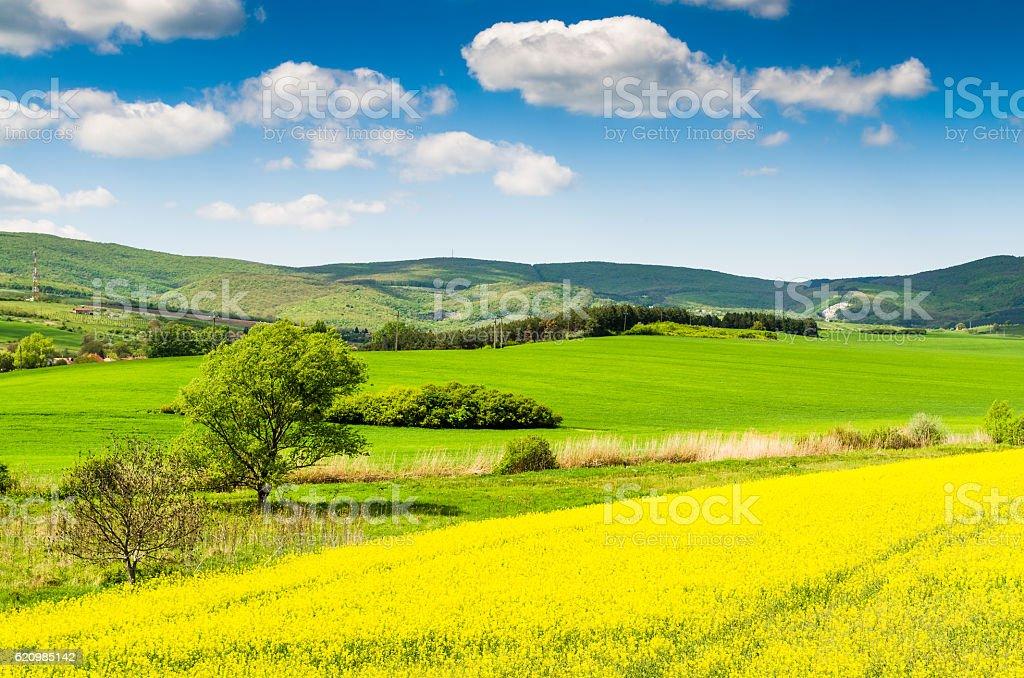 Amarelo colza oleaginosa campo sob o céu azul com sol foto royalty-free